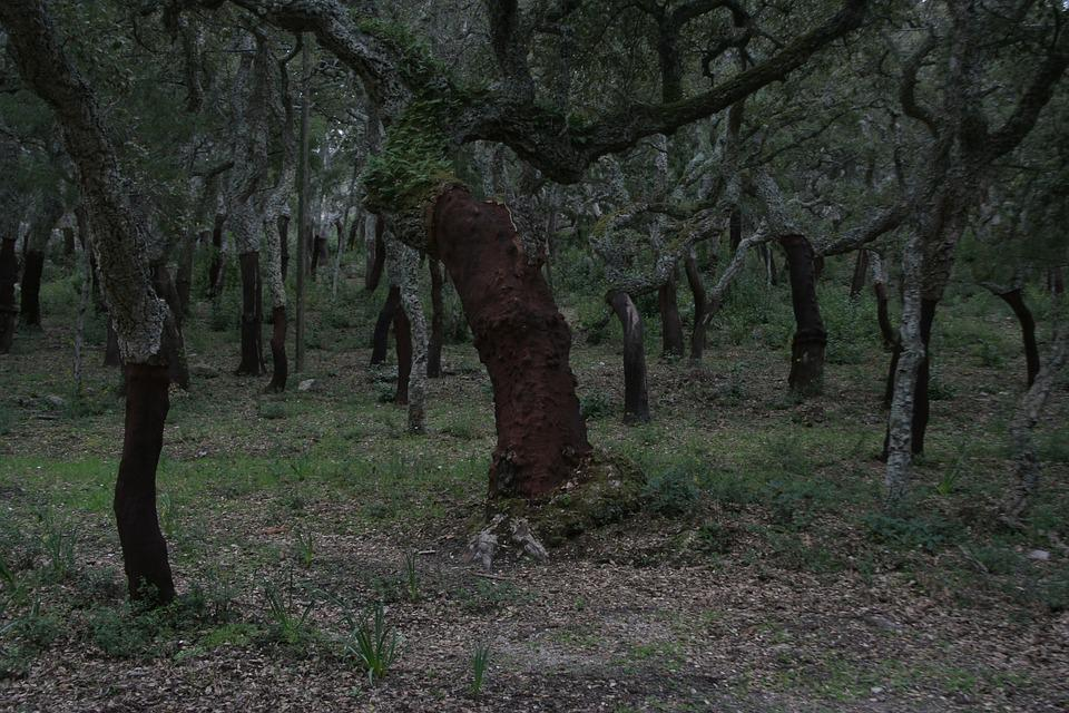 Cork Oaks, Forest, Nature, Sardinia, Landscape, Trees