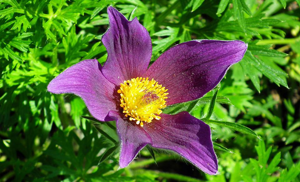 Sasanka, Flower, Summer, Nature, Blooming, Closeup