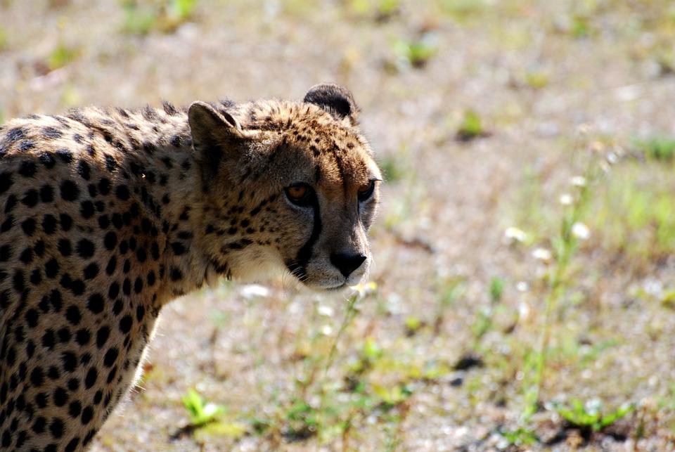 Cheetah, Animals, Savannah