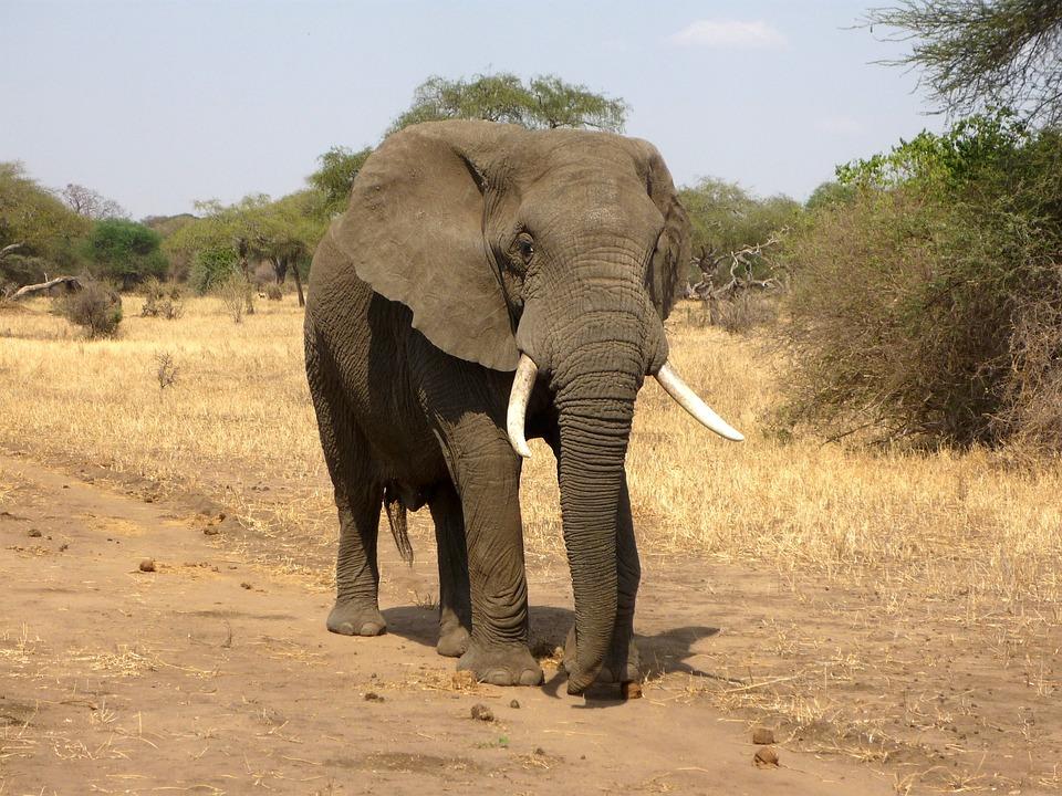 Elephant, African Bush Elephant, Savannah, Africa
