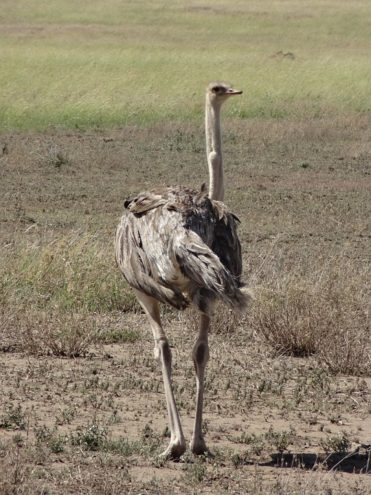 Ostrich, Savannah, Feathers
