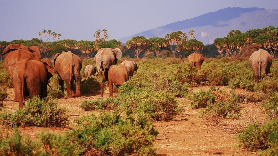 Elephant, Flock, Savannah, From The Rear, Rear View