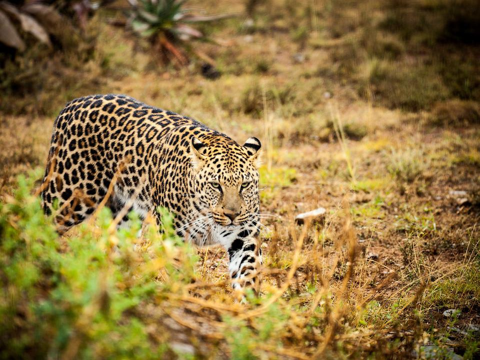 Leopard, Savannah, Wild Animals, Spotted