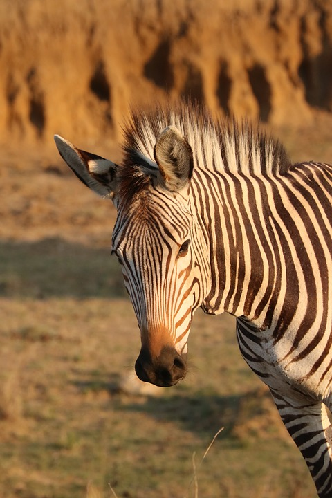 Hartmann's, Mountain Zebra, Zebra, Nature, Savannah