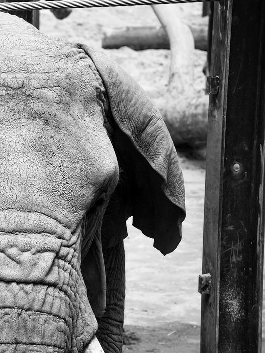 Animal, Elephant, Nature, Tusk, Africa, Savannah, Ivory