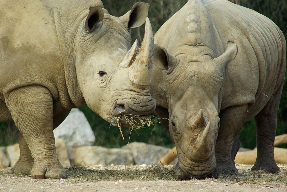 Rhinoceros, Africa, Defenses, Horn, Savannah