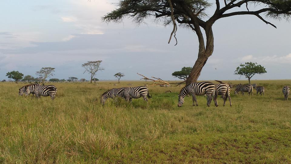 Savannah, Zebras, Safari