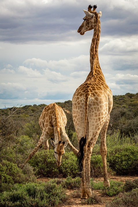 Giraffe, Safari, Africa, Savannah, Bush, Drink, Spread