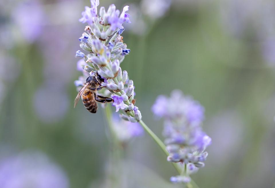 Bee, Lavender, Savoie, Flower, Insect, Garden, Nature