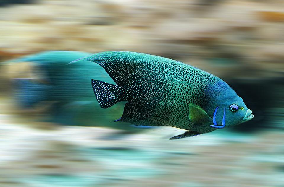 Fish, Aquarium, Speed, Scale, Water, Nature, Animal