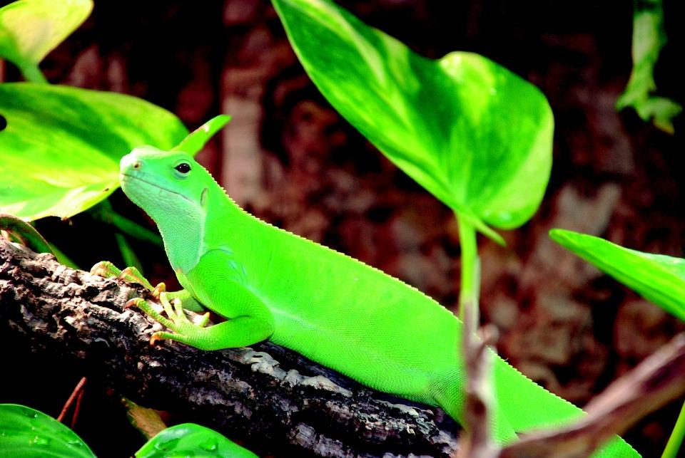 Lizard, Green, Reptile, Scale, Kaltblut, Creature