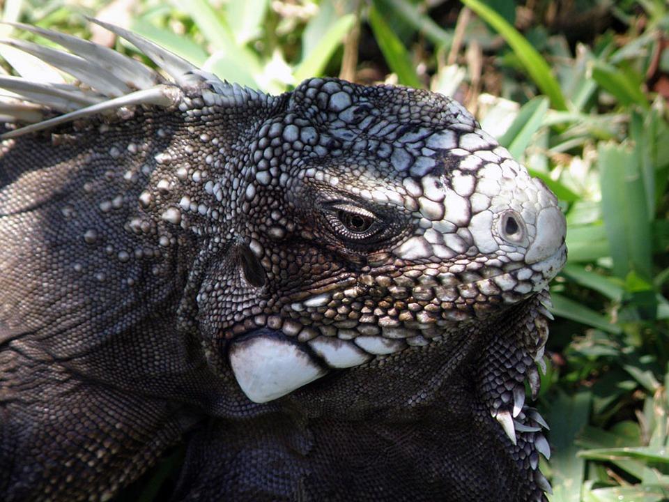 Iguana, Reptile, Scale, Animal, Nature, South America