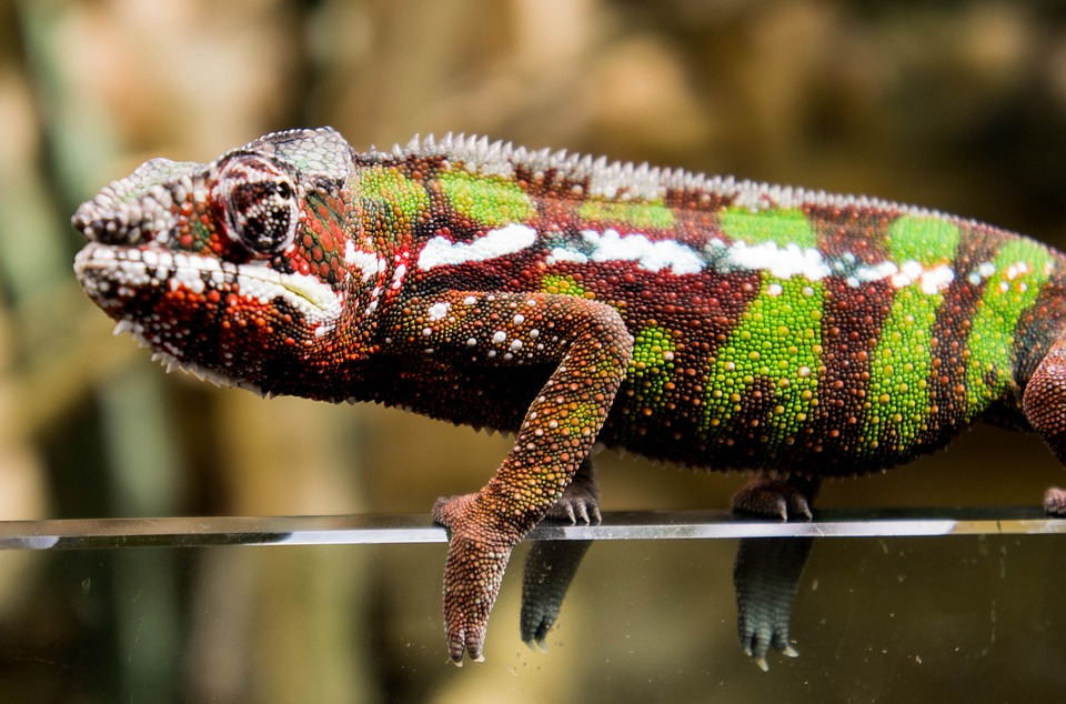 Chameleon, Red, Green, Nature, Scale
