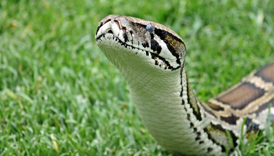 Schlang, Constrictor, Head, Scale, Reptile, Pyton