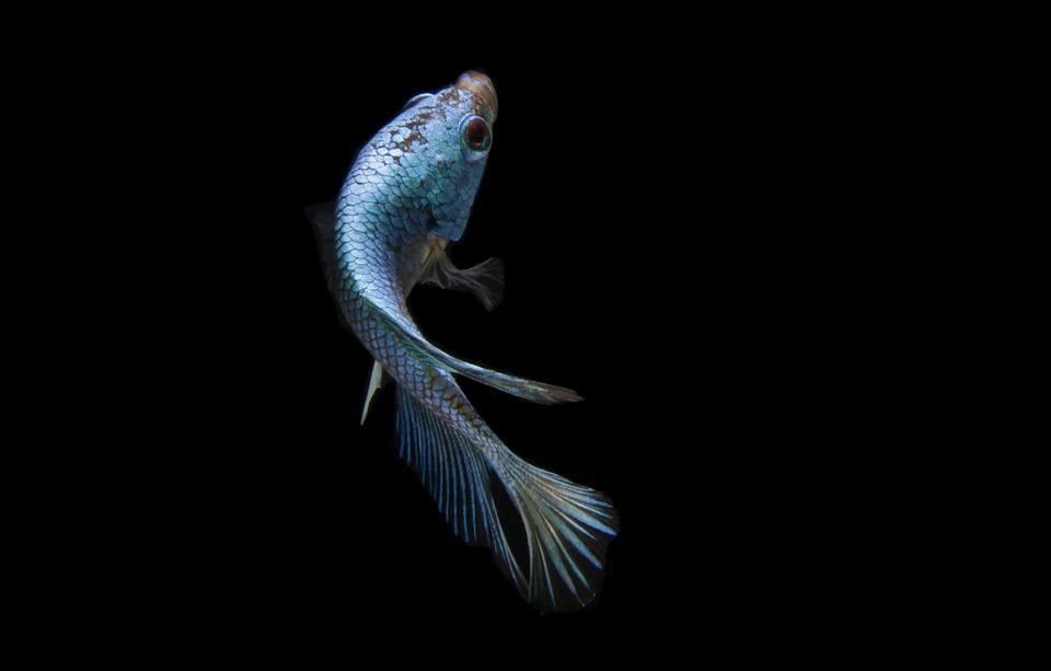 Fish, Betta Fish, Blue Fish, Animal, Scales