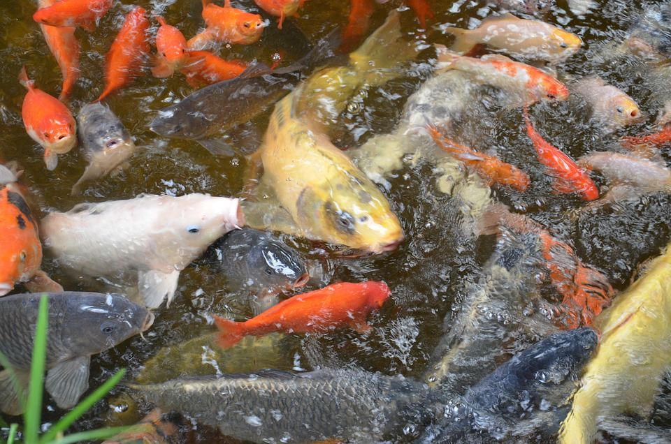 Fish, Carp, Scale, Pond, Fins, Scales, Species, Koi