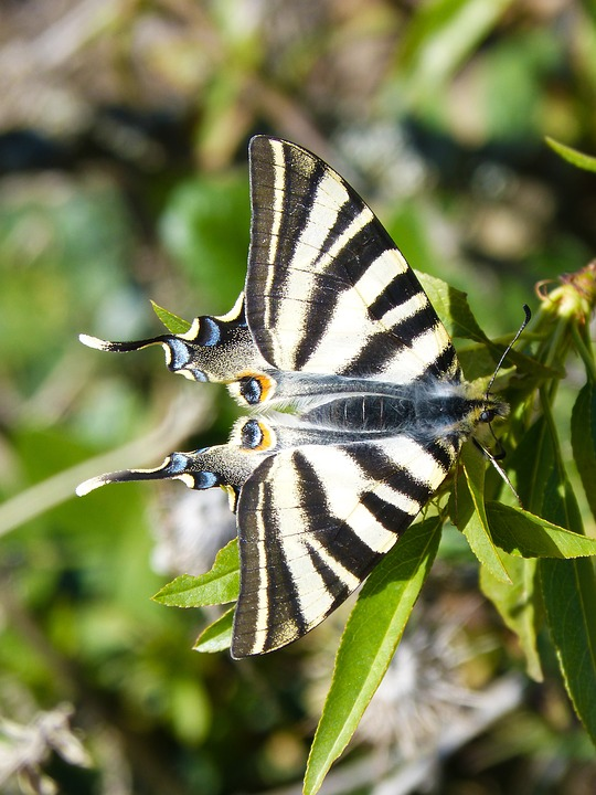 Butterfly, Scarce Swallowtail, Chupaleche, Polidario