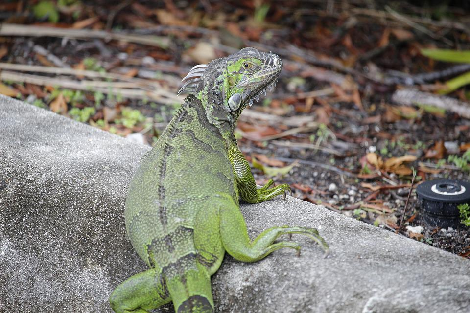 Iguana, Green, Beautiful, Lizard, Curb, Eye, Scared