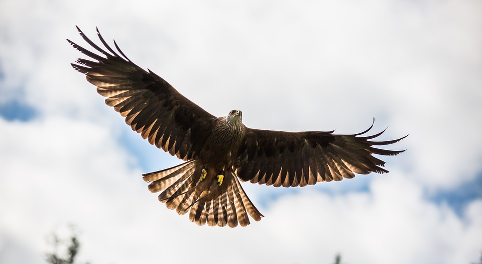 Red Kite, Prey, Nature Bird, Raptor, Beak, Scavenger