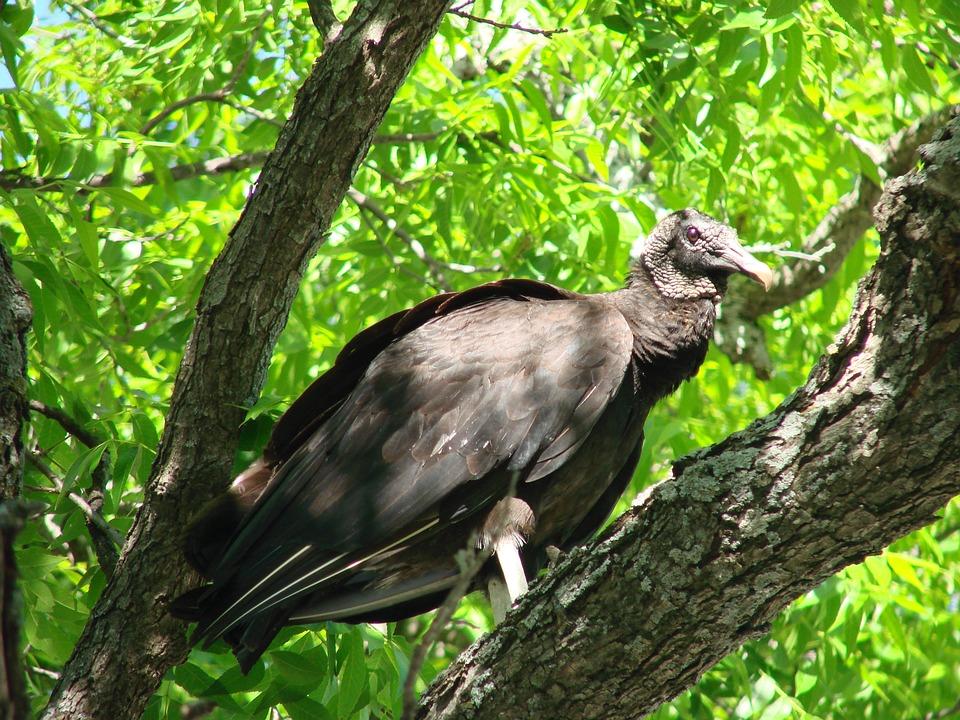 Black Vulture, Vulture, Bird, Black, Carrion, Scavenger