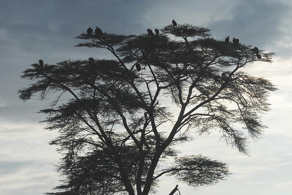 Vultures, Earth Hour, Scavengers, Kenya, Africa