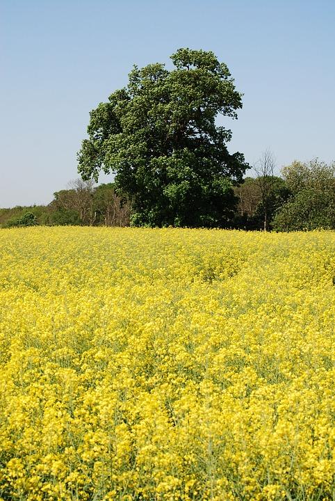 Rape Field, Oilseed Rape, Agricultural Plant, Scenery