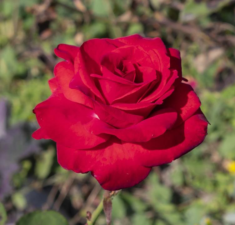 Rose, Flower, Red, Wilting, Nature, Romantic, Scent