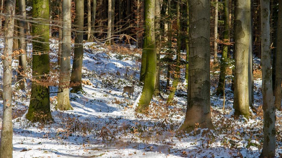 Animal, Roe Deer, Forest, Nature, Scheu, Tree, Wood