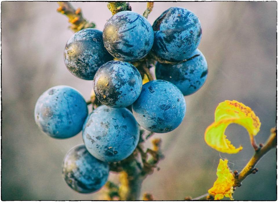 Schlehe, Sloes, Fruits, Berries, Schlehendorn