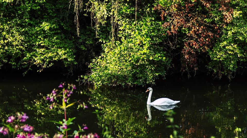 Swan, Danube, Schlossgarten, Park, Water Bird, Lake