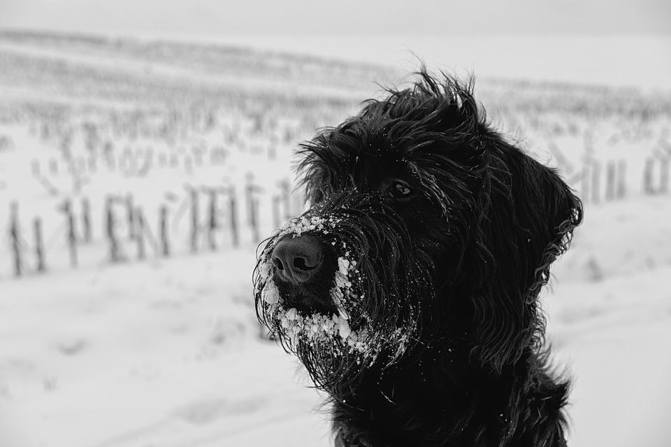 Dog, Pet, Snow, Winter, Labradoodle, Schnauzer