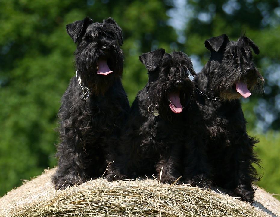 Dogs, Schnauzer, Hay Bales