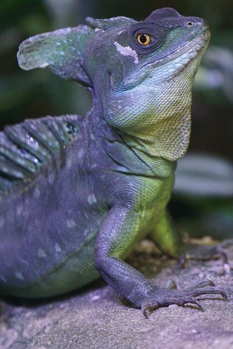 Frontal Lobe Basilisk, Iguana, Schuppenkriechtier