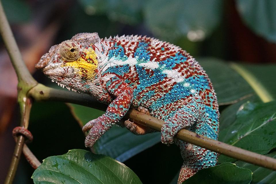 Animals, Reptile, Schuppenkriechtier Pantherchamäleon