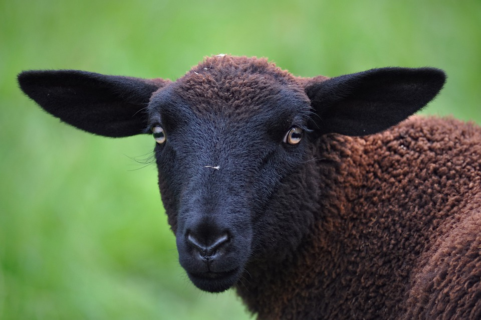 Sheep, Schwarzbraunes Bergschaf, Ovis Gmelini Aries