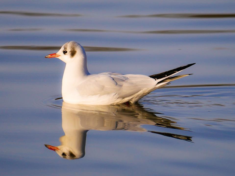 Animal World, Bird, Seagull, Water, Swim, Schwimmvogel