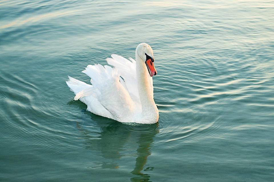 Swan, Water Bird, Animal, Pride, Nature, Schwimmvogel