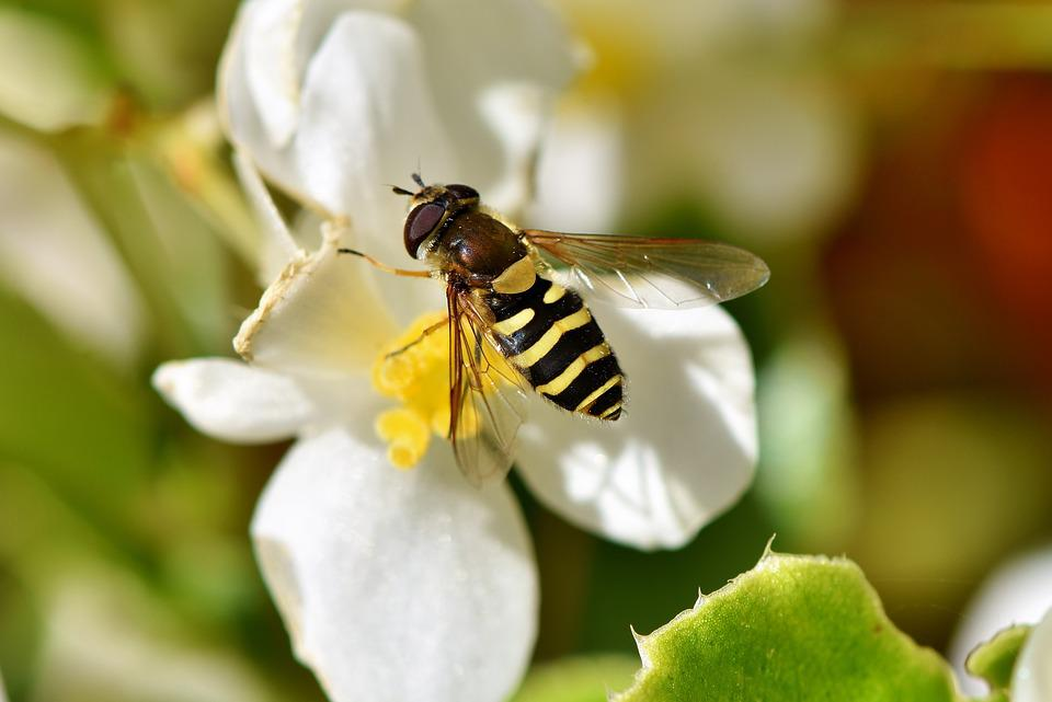 Hoverfly, Schwirrfliege, Standing Fly, Fly, Insect
