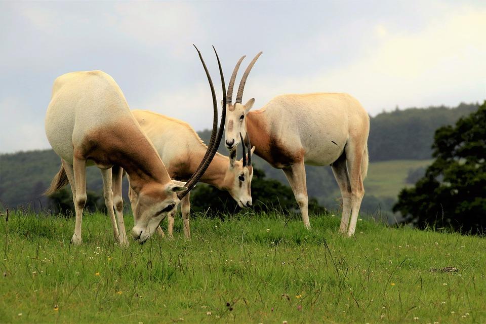 Scimitar Oryx, Antelope, Wildlife, Scimitar, Oryx
