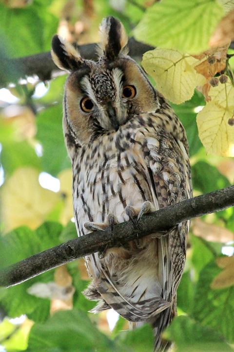 Long Eared Owl, Scops-owl, Owl, Bird, Wild Bird