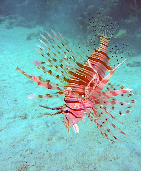 Underwater, Diving, Scorpionsfisch, Red Fire Fish