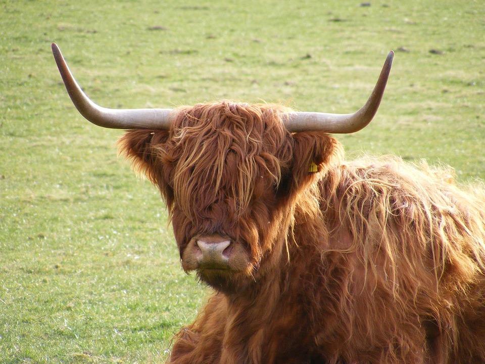Highland, Cow, Scotland, Grass, Cattle, Field, Hairy