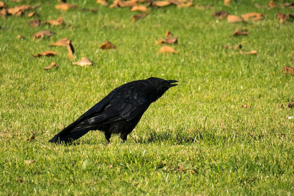 Raven, Call, Communication, Scream, Bird, Meadow, Rush