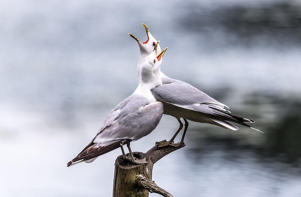 Seagulls, Screaming, Lake, Bird, Seagull