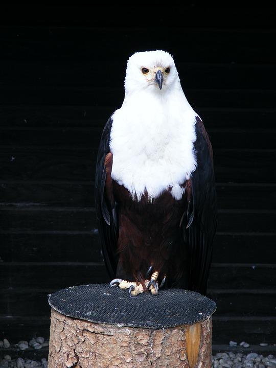 Adler, Screaming Eagles, Bird, Birds Of Prey Show
