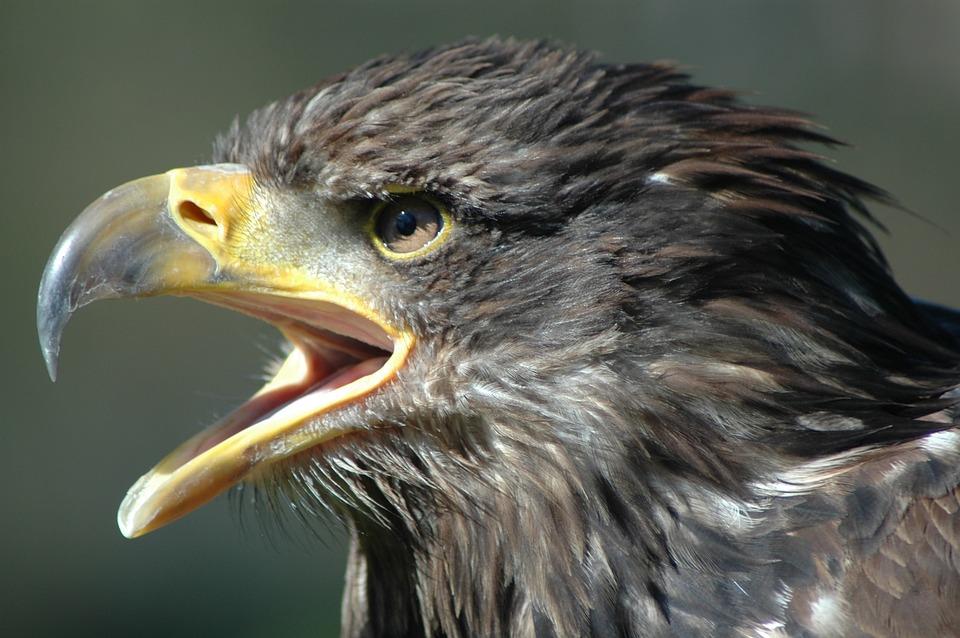 Eagle 2, Raptor, Screaming