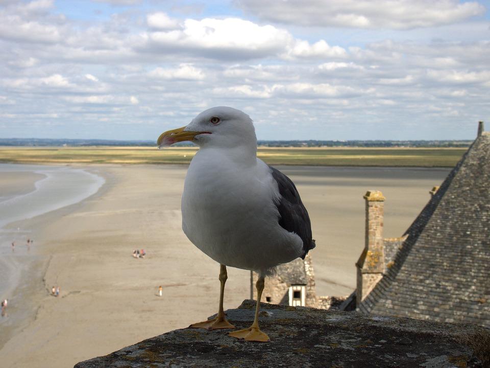 Mont Sant Michelle, Seagull, Sky, Sea, Ebb, Animal