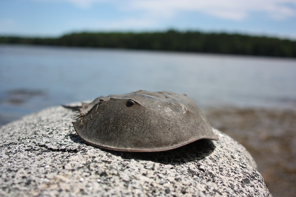 Horseshoe Crab, Ocean, Sea, Crab, Beach, Animal