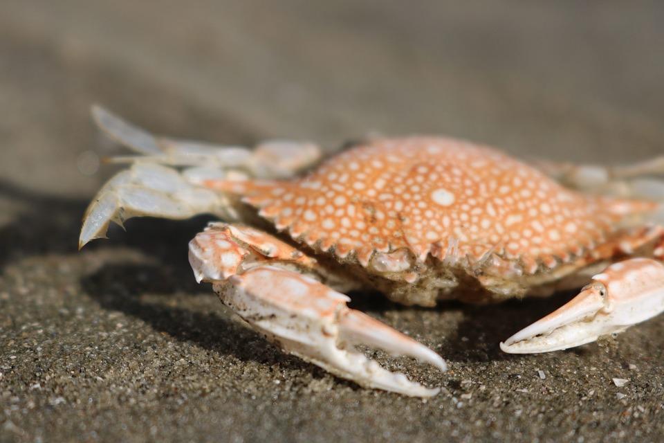 Crab, Beach, Sea, Coast, Crustaceans, Sand, Nature