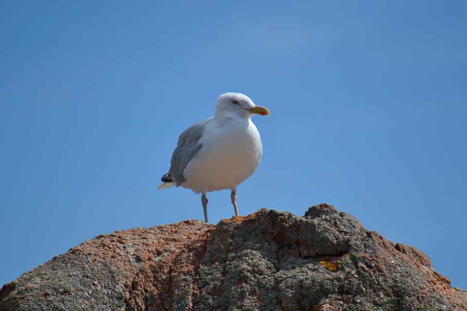 European Herring Gull, Larus Argentatus, Bird, Sea Bird